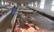 Thịt heo ngoại khó về Việt Nam