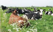 Theo dõi khí thải trong chăn thả gia súc