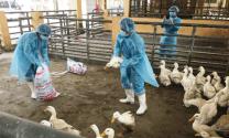 Quyết liệt, đồng bộ phòng, chống dịch bệnh gia súc, gia cầm
