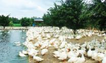 Chăm sóc và quản lý vịt sinh sản hướng thịt
