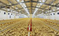 Sử dụng đèn LED trong chăn nuôi gia cầm