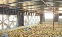 Tầm quan trọng của thông gió tự nhiên trong chăn nuôi