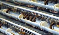 Kỹ thuật làm chuồng nuôi chim cút đẻ