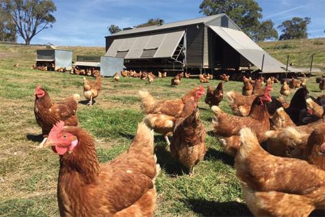 Toàn cảnh trang trại gà đẻ trứng của gia đình Steven