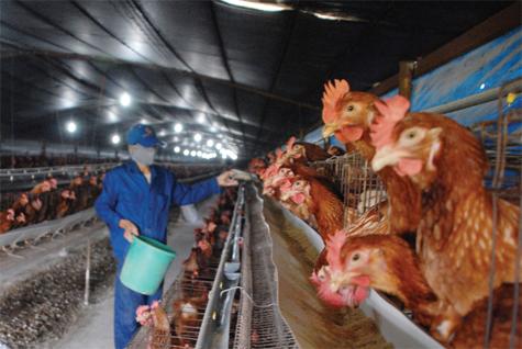 Khẩu phần ăn đầu tiên cho gà đẻ có ý nghĩa rất quan trọngẢnh: PTC