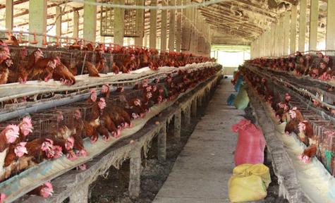 Trang Trại nuôi gà đẻ của nông dân xã Tân Lân, huyện Cần Đước