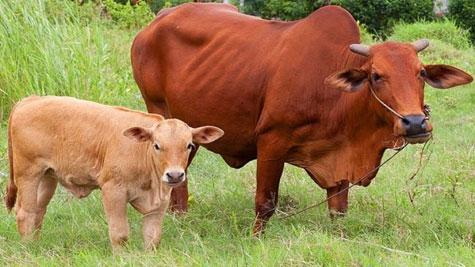 Lai tạo bò giống tại Yên bái