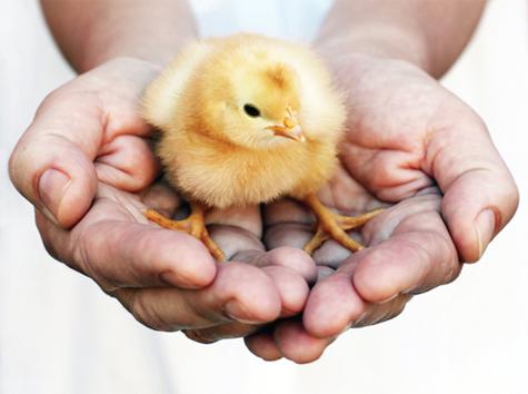 Chăn nuôi an toàn sinh học: Hạn chế dịch bệnh, giảm thiểu rủi ro