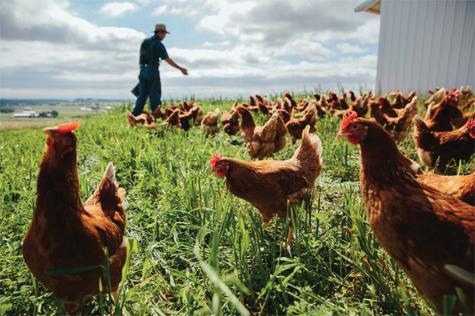 Chăn nuôi không kháng sinh đang là hướng đi của nhiều quốc gia trên thế giới Ảnh: IE