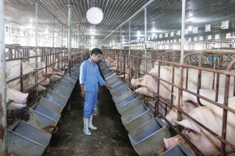 Giảm giá thành chăn nuôi đang được nhiều doanh nghiệp chú trọng Ảnh: Vũ Mưa