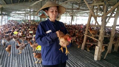 Trang trại gà thảo mộc của bà Ten thuộc HTX Nông nghiệp Phú Ngọc