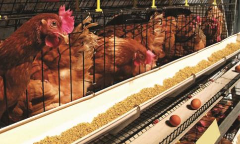 quy trình chăn nuôi gà đẻ trứng | Món Miền Trung