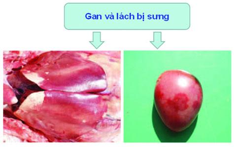 bệnh nhiễm trùng huyết trên vịt - ảnh 5 - chăn nuôi