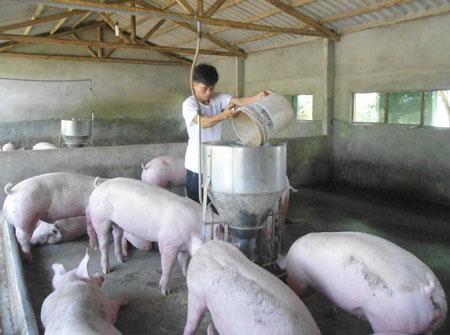 Câu hỏi thường gặp về thức ăn trong nuôi heo thịt