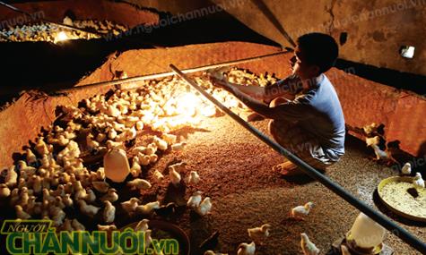 mẹo úm gà hiệu quả - chăn nuôi