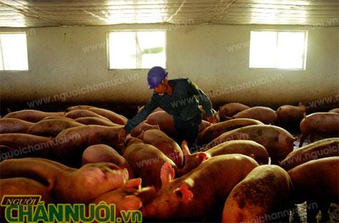 chất cấm trong nuôi heo - chăn nuôi